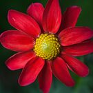 the bright red daisy by flightlessXbird
