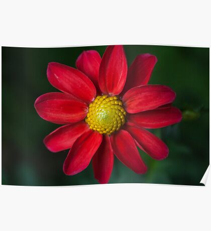 the bright red daisy Poster