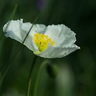 Good Morning White Poppy by Clare Colins