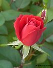 Rose Radtko by Evelyn Laeschke