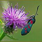 Burnetts 6 Spot Moth by DonMc