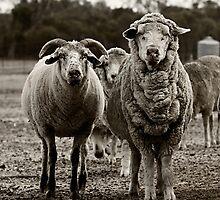 Sheep by Peta Santoro