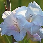 White Gladiolus by Evelyn Laeschke