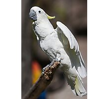 parrot on its perch Photographic Print