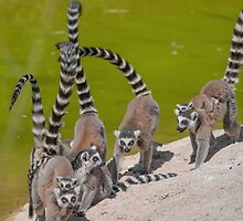 lemur at the zoo by spetenfia