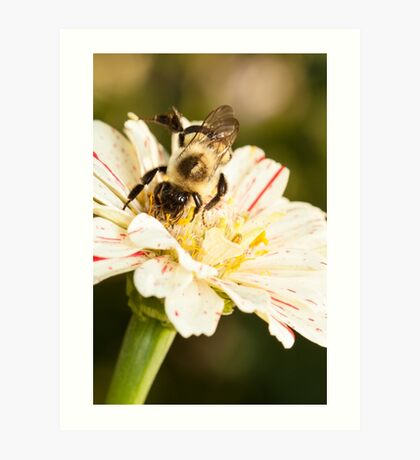 Bumble Bee Collecting Pollen Art Print