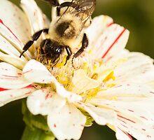 Bumble Bee Collecting Pollen by Dan Dexter