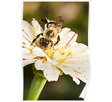 Bumble Bee Collecting Pollen Poster