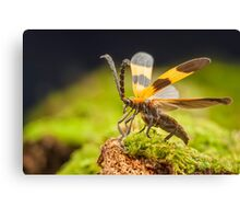 Reticulated Netwinged Beetle Canvas Print