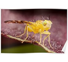 Yellow Fruit Fly On Purple Leaf Poster