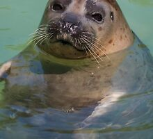 sea ​​lion at the zoo by spetenfia