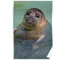 sea lion at the zoo Poster