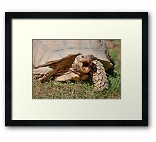 tortoise at zoo Framed Print