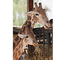 giraffe at the zoo Photographic Print