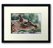 giraffe at the zoo Framed Print