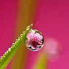 Pink Azalea Dew Drop Refraction by Dan Dexter