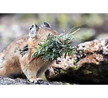 Pika thief Photographic Print