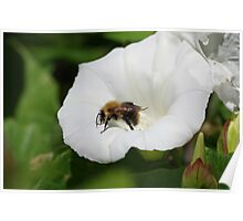 Bee on a Convolvulus Flower at Gwithian Nature Reserve in Cornwall. Poster