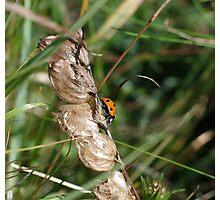 Ladybird at Gwithian Nature Reserve in Cornwall.  Photographic Print
