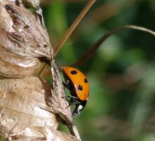 Ladybird at Gwithian Nature Reserve in Cornwall.  Sticker