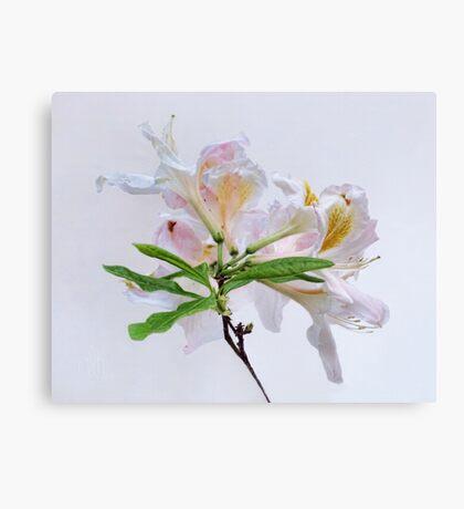 White Exbury Azalea Bloom Canvas Print