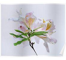 White Exbury Azalea Bloom Poster