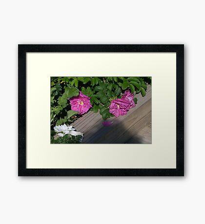 Roses along the Way Framed Print