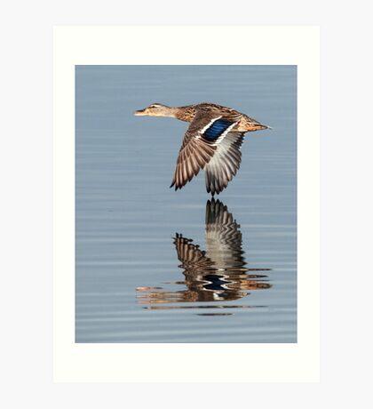 Mallard hen flying by Art Print