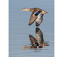 Mallard hen flying by Photographic Print