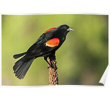 Red-winged Blackbird on Mullein Poster