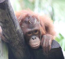 Baby Orangutan by Robin Raible