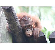 Baby Orangutan Photographic Print