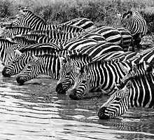 Thirsty Zebras by Pravine Chester