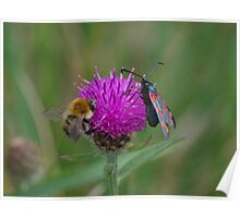 Bee and Burnet Moth on a Common Knapweed Flower at Gwithian Nature Reserve in Cornwall. Poster