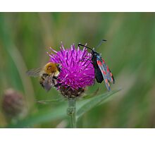 Bee and Burnet Moth on a Common Knapweed Flower at Gwithian Nature Reserve in Cornwall. Photographic Print