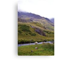 Lonely Sheep Canvas Print