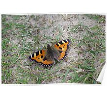 Small Tortoiseshell Butterfly at Gwithian Nature Reserve in Cornwall. Poster