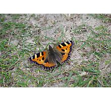 Small Tortoiseshell Butterfly at Gwithian Nature Reserve in Cornwall. Photographic Print