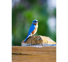 Bluebird Perched on a Fence Photographic Print