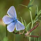 Common Blue Butterfly by Gill Langridge