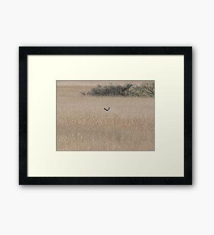 Marsh Harrier Over Marsh Framed Print
