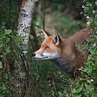 Red Fox 2 by Gill Langridge