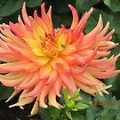 Dahlia's at Canby Farm, Oregon by AuntieBarbie