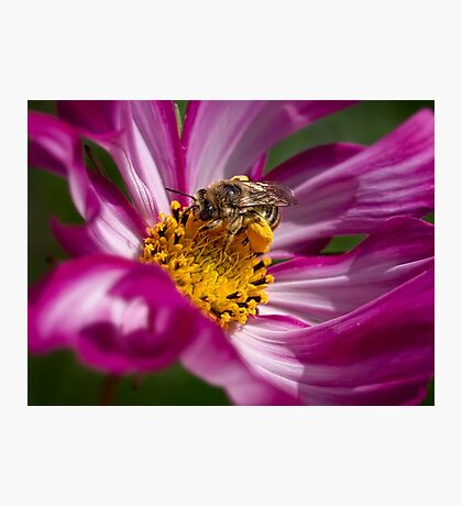 Bee packing pollen Photographic Print