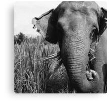 Rescued Elephants  Canvas Print