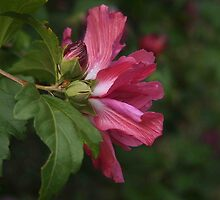 Rose of Sharon Profile by Linda  Makiej
