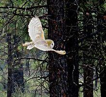 Barn Owl in Flight by gcampbell