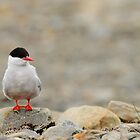 Tern To The Left by CBoyle