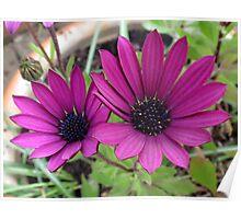 Daisy, Daisy - Pink Velvet Poster