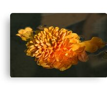 Chrysanthemum Gently Floating in the Fountain of Campo de Fiori, Rome, Italy Canvas Print